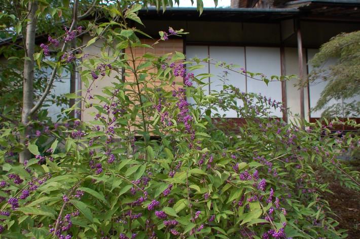 茶室前の紫式部